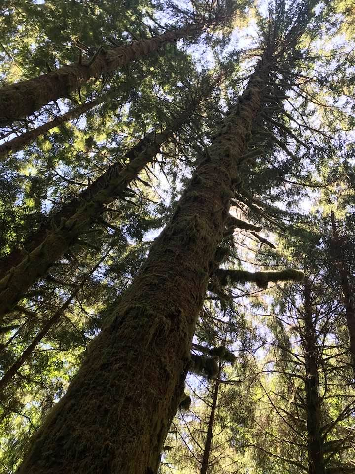 This image has an empty alt attribute; its file name is rv-olympic-natl-forest-trees.jpg