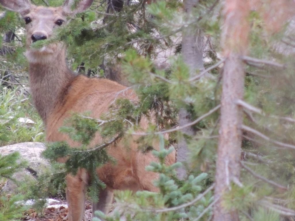 This image has an empty alt attribute; its file name is rv-medicine-bow-deer.jpg